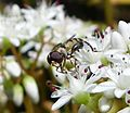 Syritta pipiens Xylotini - Flickr - gailhampshire (1).jpg