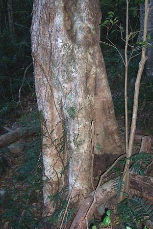 Illawarra escarpment - Brush Cherry, Mount Keira, Illawarra