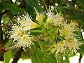 Syzygium cumini Flowers1.jpg