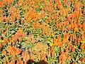 Szent István Park. Flower bed. Orange. - Budapest.JPG