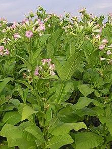 Plantas de Nicotiana tabacum em flor.