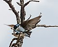 Tachycineta bicolor -Madison, Wisconsin, USA -mating-8.jpg