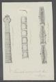 Taeniata marginata - - Print - Iconographia Zoologica - Special Collections University of Amsterdam - UBAINV0274 105 19 0021.tif