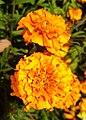 Tagetes-Marigold-Flower 01.jpg
