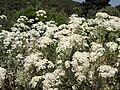 Tanacetum ptarmiciflorum 'Silver Feather' 4.JPG