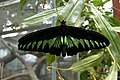 Tanah Rata, Malaysia, Butterfly.jpg