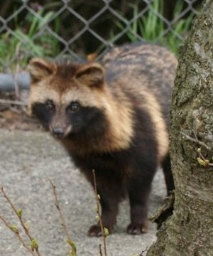 Japanese raccoon dog - Image: Tanuki By Iwanafish Cropped