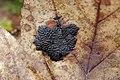 Tar Spot - Rhytisma acerinum (40218432101).jpg
