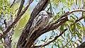 Tawny Frogmouth (Podargus strigoides) (31004901030).jpg