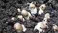 Termitomyces clypeatus 388120.jpg