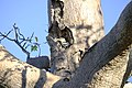 The Blue-winged Kookaburra watching the setting sun from a Boab tree.jpg