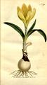 The Botanical Magazine, Plate 290 (Volume 9, 1795).png