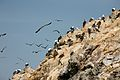 The Guano and Peruvian Booby Birds (6990616208).jpg