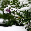 The snow arrived while the flowers were still in full bloom! (6292482638).jpg