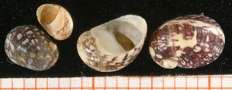 Freshwater snail - Image: Theodoxus fluviatilis