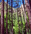 Through the Forest, Oak Creek Canyon, AZ 7-13 (26852280443).jpg