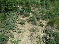 Thymus odoratissimus sl42.jpg