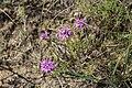 Thymus pallasianus 43936440.jpg