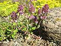 Thymus pulegioides.jpg
