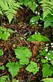 Tiarella trifoliata unifoliata 1.jpg