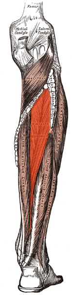 http://upload.wikimedia.org/wikipedia/commons/thumb/4/49/Tibialis_posterior.png/148px-Tibialis_posterior.png