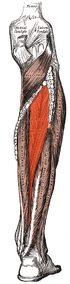 Tibialis posterior.png