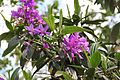 Tibouchina Granulosa (Purple Glory Tree) (28818387051).jpg
