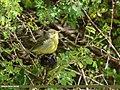 Tickell's Leaf Warbler (Phylloscopus affinis) (42962552645).jpg