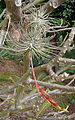 Tillandsia fuchsii, the Pincushion Airplant (9299622311).jpg