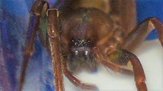Titiotus - Eyes of a Titiotus sp.
