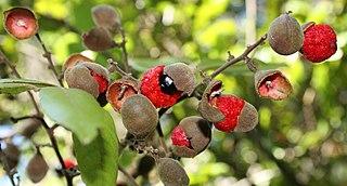 <i>Alectryon</i> (plant) Genus of flowering plants