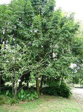 Description de l'image Torreya grandis Merrillii6.jpg.