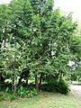 Torreya grandis Merrillii6.jpg