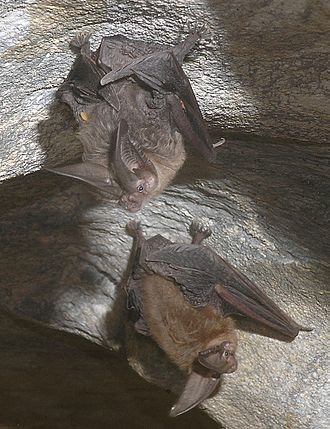 Townsend's big-eared bat - Townsend's big-eared bats in a cave
