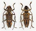 Trachelophora maculosa - Flickr - Bennyboymothman.jpg