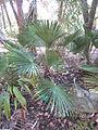 Trachycarpus wagnerianus.jpg
