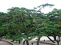 Trees-Bulguksa-Gyeongju-Korea-01.jpg