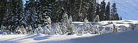 Trees covered by snow in Boreal, California.jpg