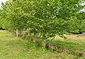 Trees in Devonport Leat.jpg