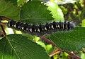 Trichiura crataegi larva.jpg