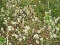 Trifolium (Trifolium) arvense 01.JPG