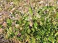 Trifolium hybridum (5154569795).jpg