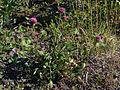 Trifolium pratense Oulu, Finland 10.06.2013.jpg