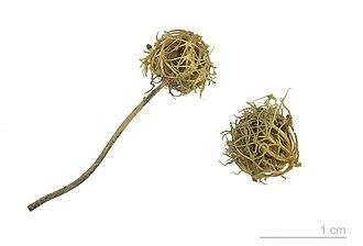 Trifolium subterraneum - Trifolium subterraneum - MHNT