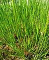 Triglochin maritimum plant (26).jpg