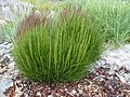 Triglochin maritimum plant (34).jpg