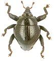 Trigonopterus amplipennis holotype - ZooKeys-280-001-g005.jpg