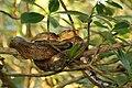 Trinidad tree boa (Corallus ruschenbergerii).jpg