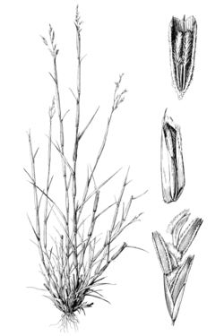 Triplasis purpurea HC-1950.png