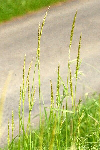 Trisetum.flavescens2.-.lindsey